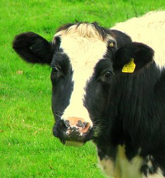 Hello im a cow by John Morris