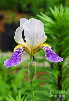 Her Majesty Iris  by Steve Augustin