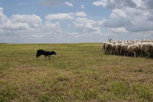 Herding by Amelie Vandenberghe