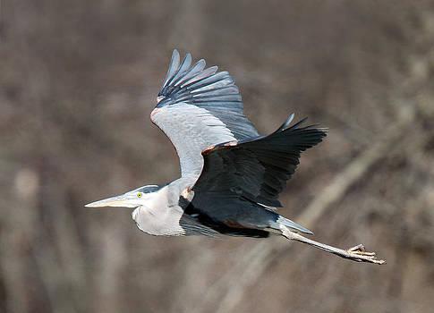 Heron Flight by David Yunker