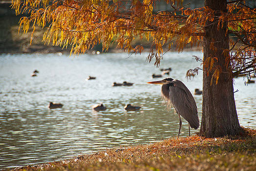 Heron in the Fall by Preston Broadfoot