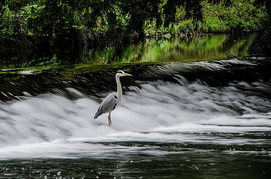 Martina Fagan - Heron in the Tolka River