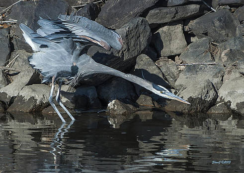 Heron Lunging by Stephen  Johnson