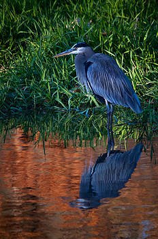 Heron Reflection by Dave Weth