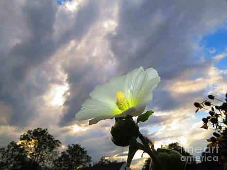 Hibiscus  Beam by David Lankton