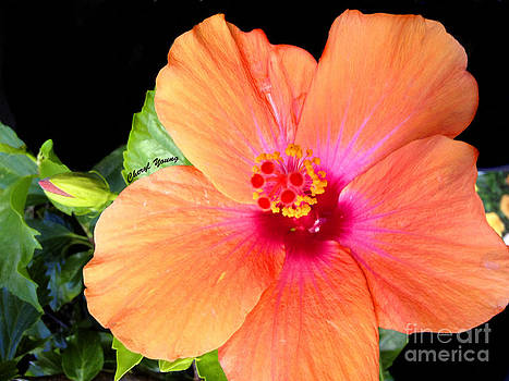Cheryl Young - Hibiscus Flower