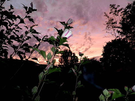 Kate Gallagher - Hibiscus In The Sunset