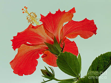 Christmas Hibiscus by Larry Nieland