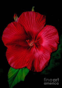 Dave Bosse - Hibiscus  Softly