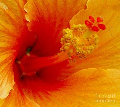 Gail Matthews - Hibiscus Stamen Macro