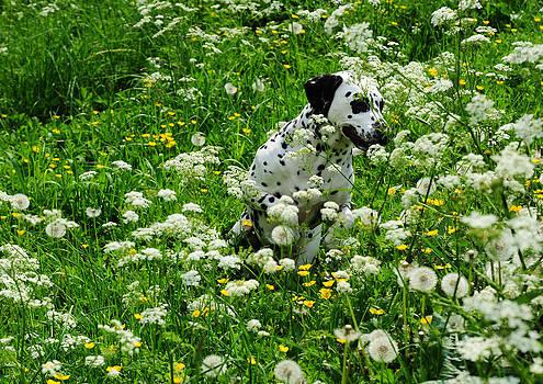 Jenny Rainbow - Hiding Among Dandelions. Kokkie. Dalmation Dog