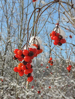 Highbush Cranberries by Tingy Wende