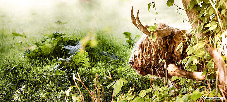 Simon Bratt Photography LRPS - Highland cow laying down