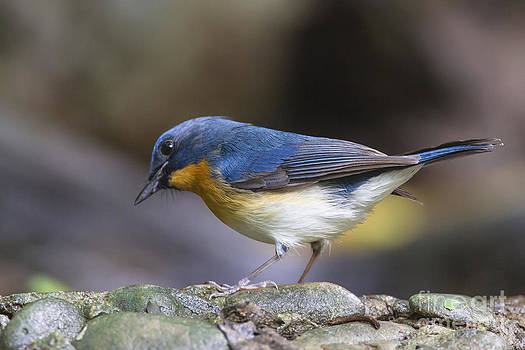 Hill Blue-Flycatcher by Jean-Luc Baron