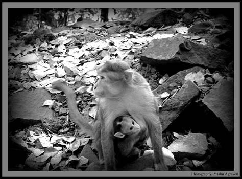 Himachal Monkey  by Yashu Agrawal