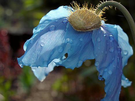 Blue Allure by Cheryl Hoyle