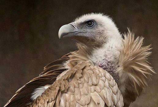 Himalayan Vulture  by Ferrara Claude