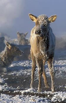 Sandra Bronstein - Hoarfrosted Elk Calf