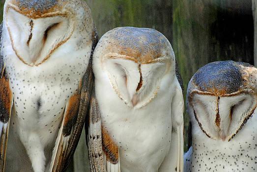 Jeff Brunton - Homosassa Springs Snowy Owls 1