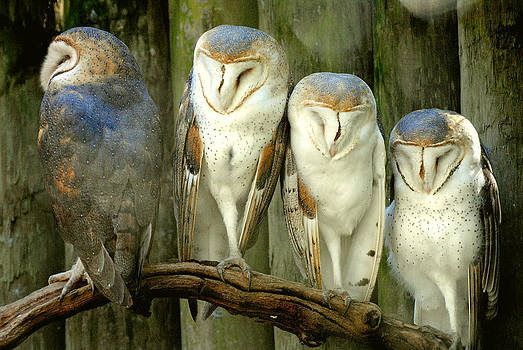 Jeff Brunton - Homosassa Springs Snowy Owls 2