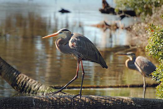 Jeff Brunton - Homosassa Springs Waterfowl 8
