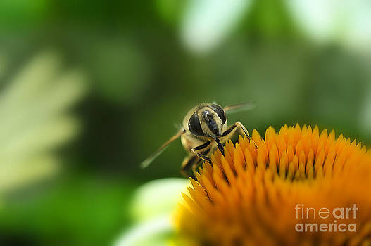 Dan Friend - honey bee feeding on top of flower