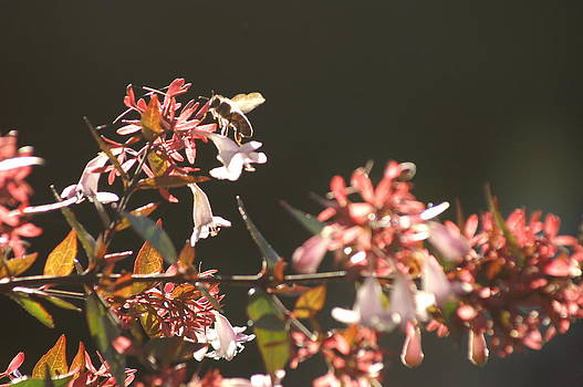 Honey Bee in The Sun by Thomas D McManus