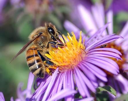 Tracey Harrington-Simpson - Honey Bee On Purple Flower