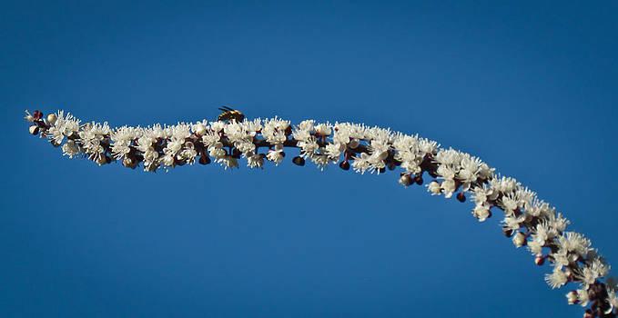 Honey Bee on White Flowers by Eva Kondzialkiewicz