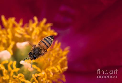 Honeybee Hovering Over Peony Flower by Brandon Alms
