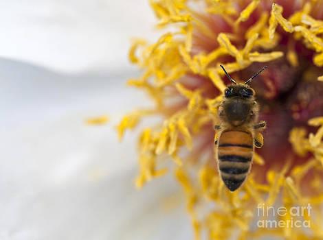 Honeybee in Flight Inside a White Peony Flower by Brandon Alms
