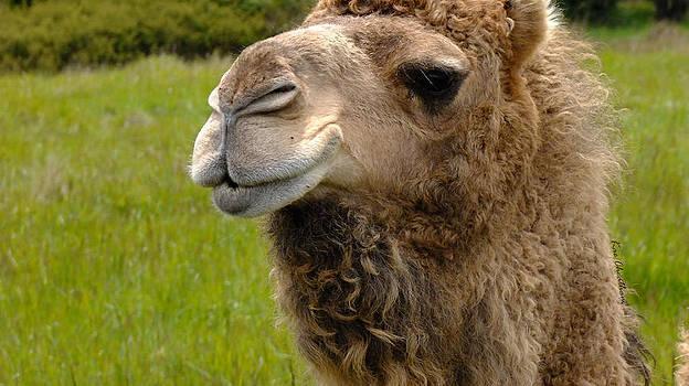 Kae Cheatham - Hopeful Camel