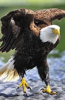 Hopping Eagle by Sasse Photo