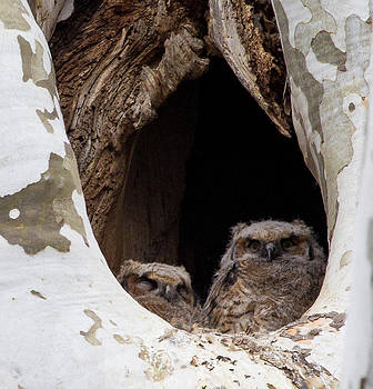 Horned owl fledglings by Jahred Allen