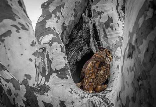 Horned owl take-off by Jahred Allen