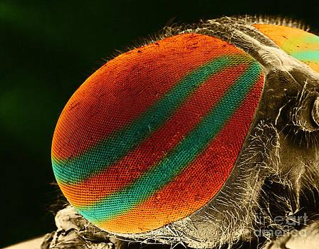 Biophoto Associates - Horsefly Eye Sem