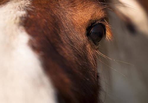 Horse's eye by David Isaacson