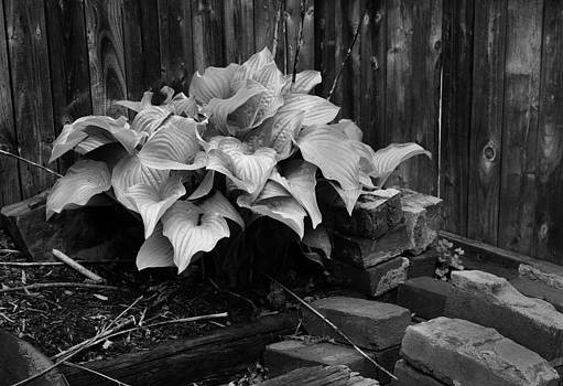 Hosta Wood and Bricks by Rob Richardson