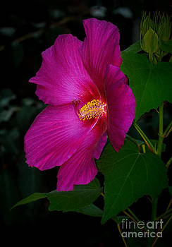 Dave Bosse - Hot Pink Hibiscus 2