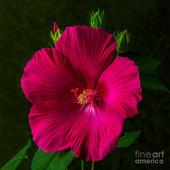 Dave Bosse - Hot Pink Hibiscus