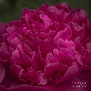 Teresa Mucha - Hot Pink Peony Squared