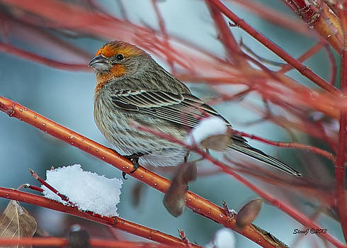 House Finch after Snowfall by Stephen  Johnson