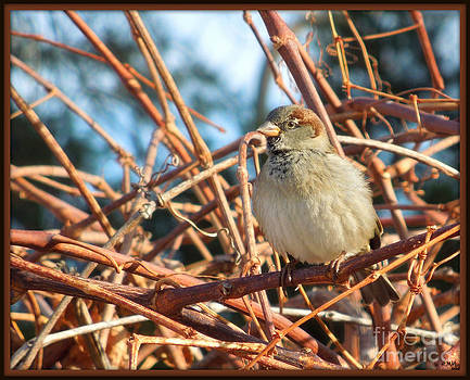House Sparrow On Grapevine by Heidi Manly