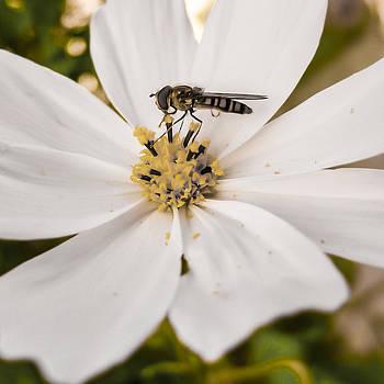 Hoverfly by Nina Peterka