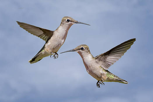 Hovering Hummers by Bonnie Barry