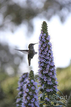 Hovering hummingbird by Angelina W