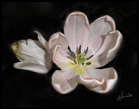 How Tulips Unfold No. 3 by Tonie Cook