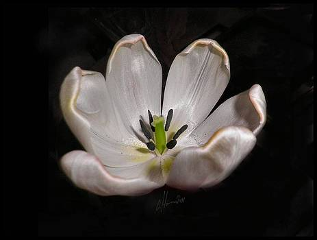 How Tulips Unfold No. 3b by Tonie Cook