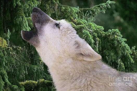 Dave Welling - Howlling Arctic Wolf Pup Endangered Species Wildlife Rescue