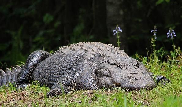 Paulette Thomas - Huge Alligator